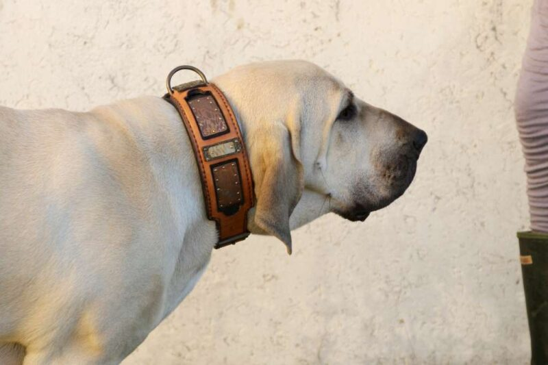 Fila Brasileiro - Bela Harakhan - wearing Shiraz leather dog collar