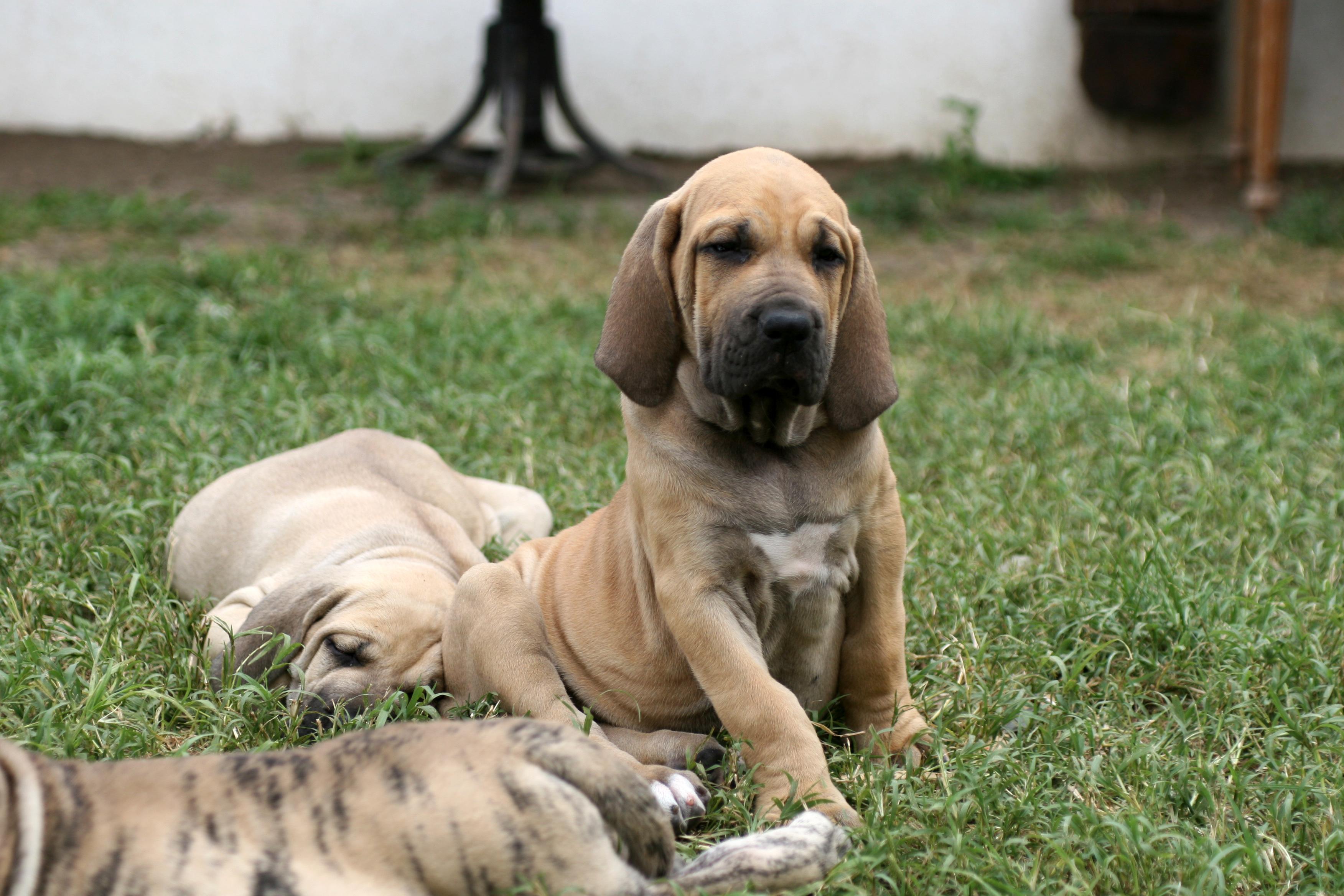 Bea Harakhan - apricot female Fila puppy