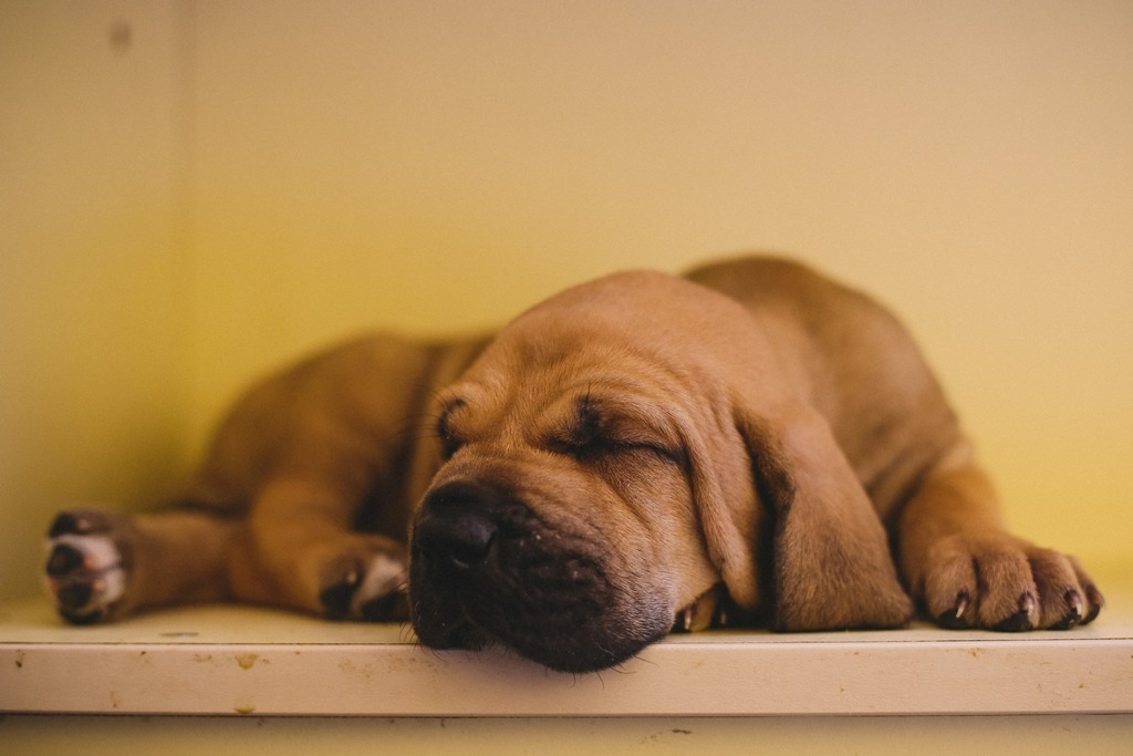 Beka Harakhan - Fila Brasileiro puppy