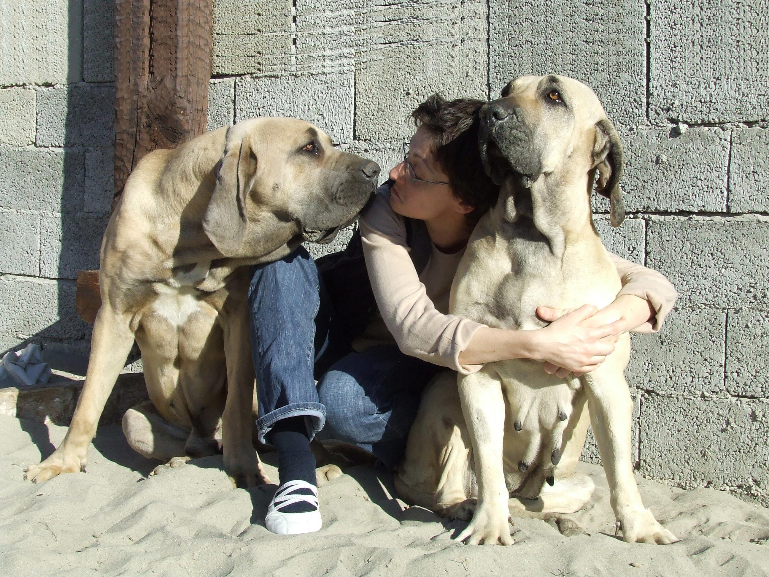 Brazilian Mastiffs - guard dogs - Harakhan kennel
