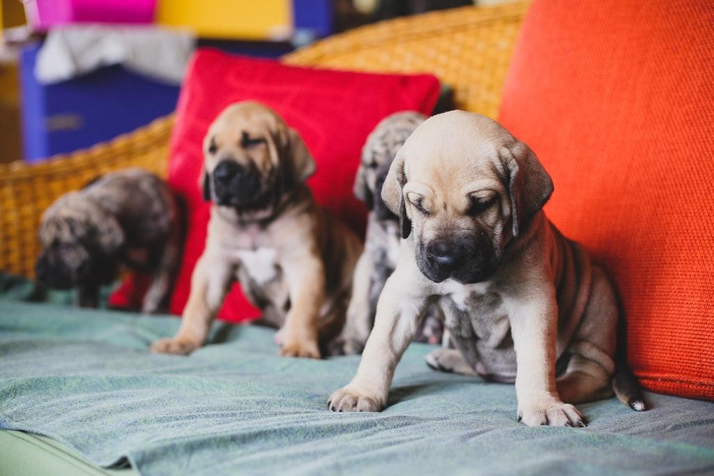 Fila Brasileiro puppies- Harakhan kennel