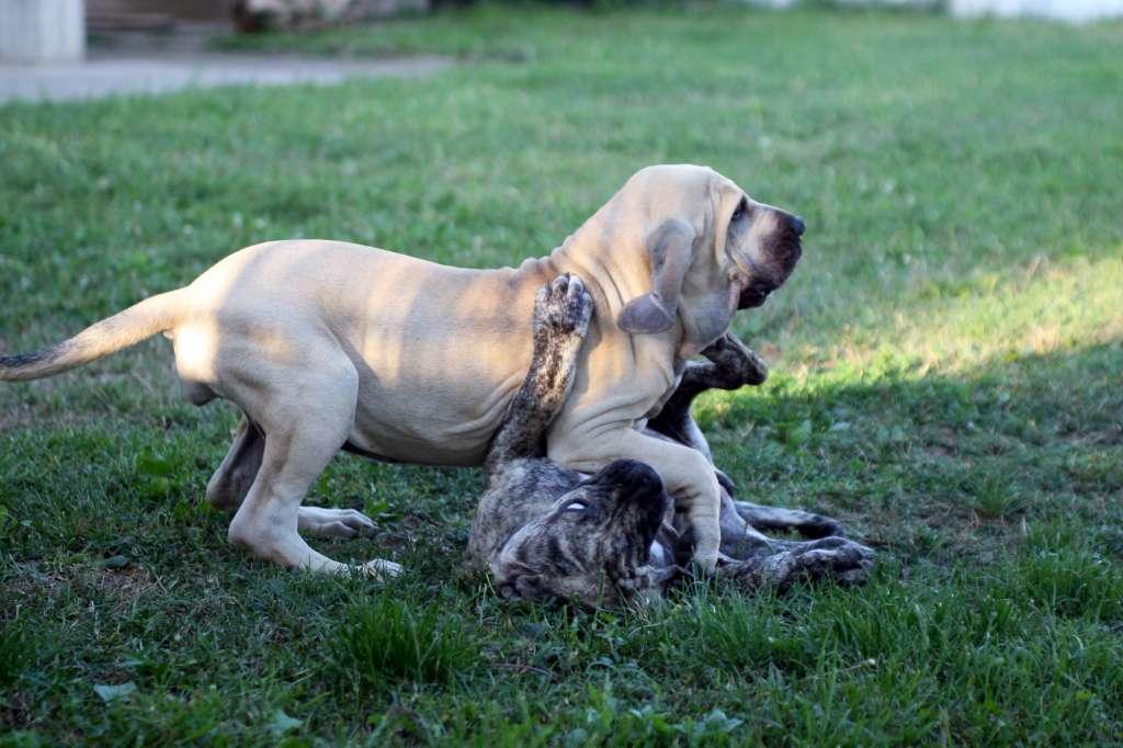 Fila Brasileiro Puppies Harakhan Kennel