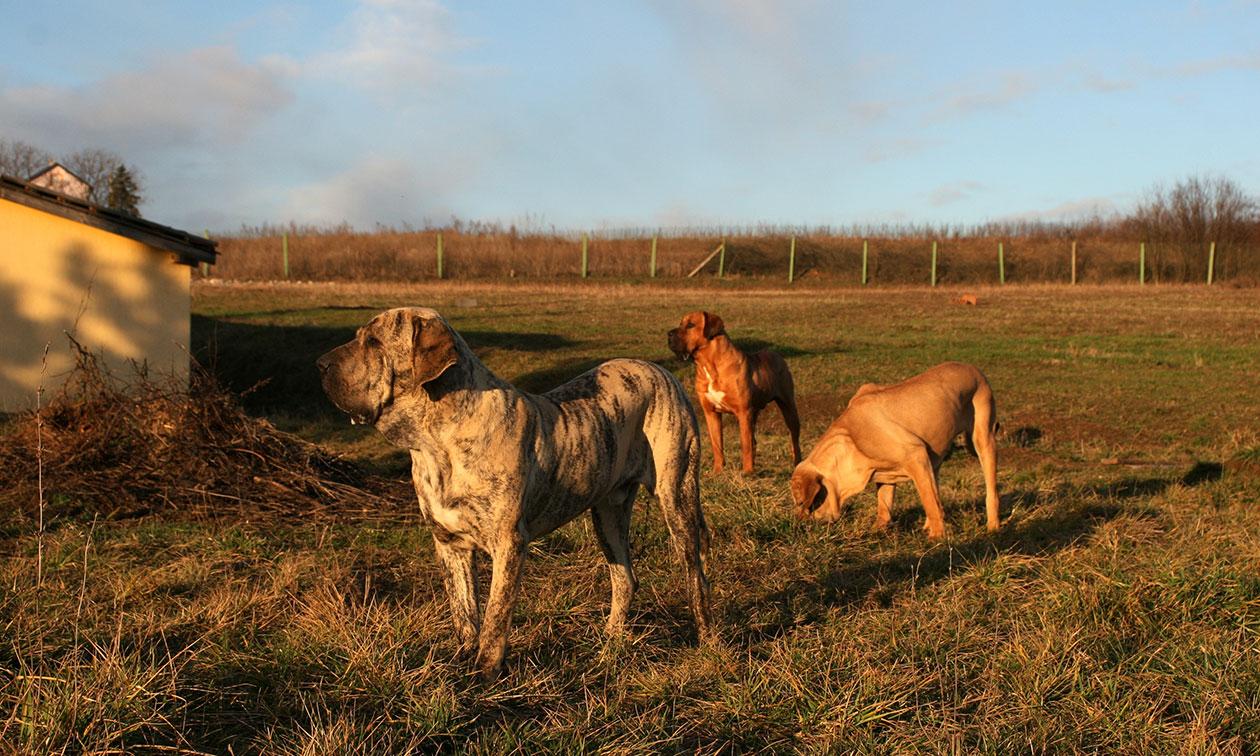Tosa and Fila Brasileiro guard dogs