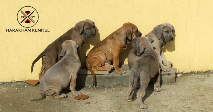 Fila Brasileiro Puppies