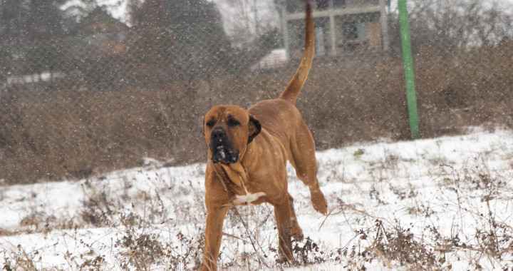 Japanese Tosa in motion - Harakhan kennel