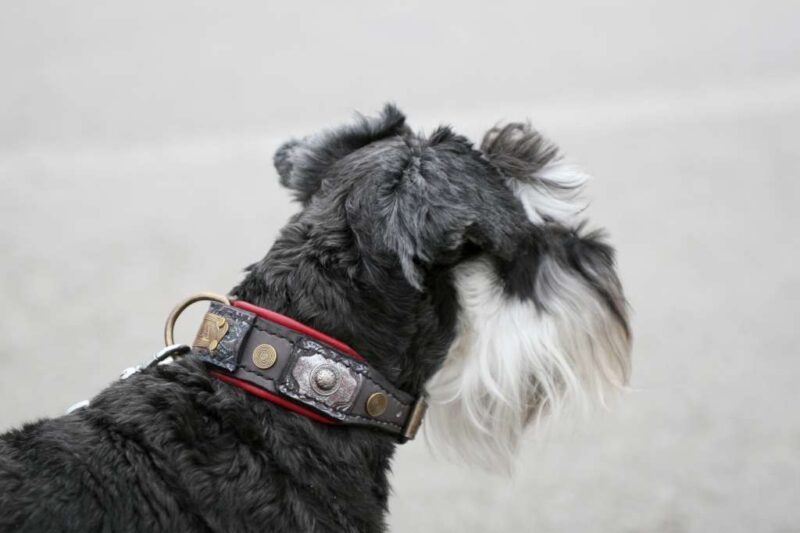 Tesla unique handmade leather dog collar hand crafted by Workshop Sauri