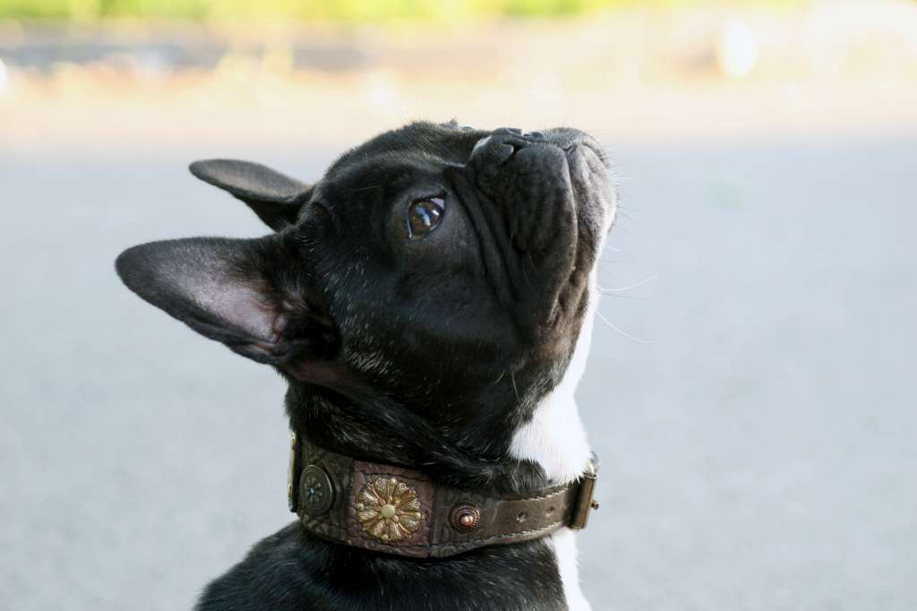 Small and extra small leather dog collars handmade by Workshop Sauri