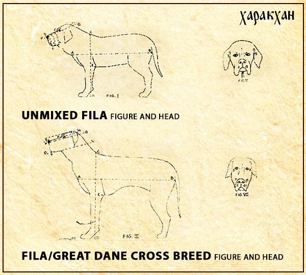 Fila Brasileiro mix breeding with Great Dane