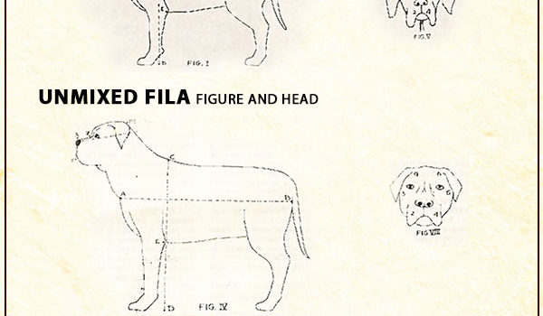 Fila Brasileiro mix breeding with English mastiff