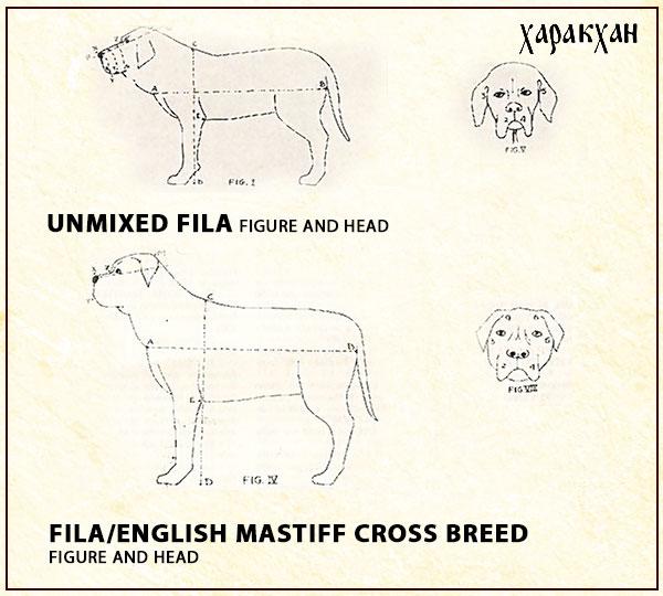 Fila Brasileiro mix breeding with English mastiff