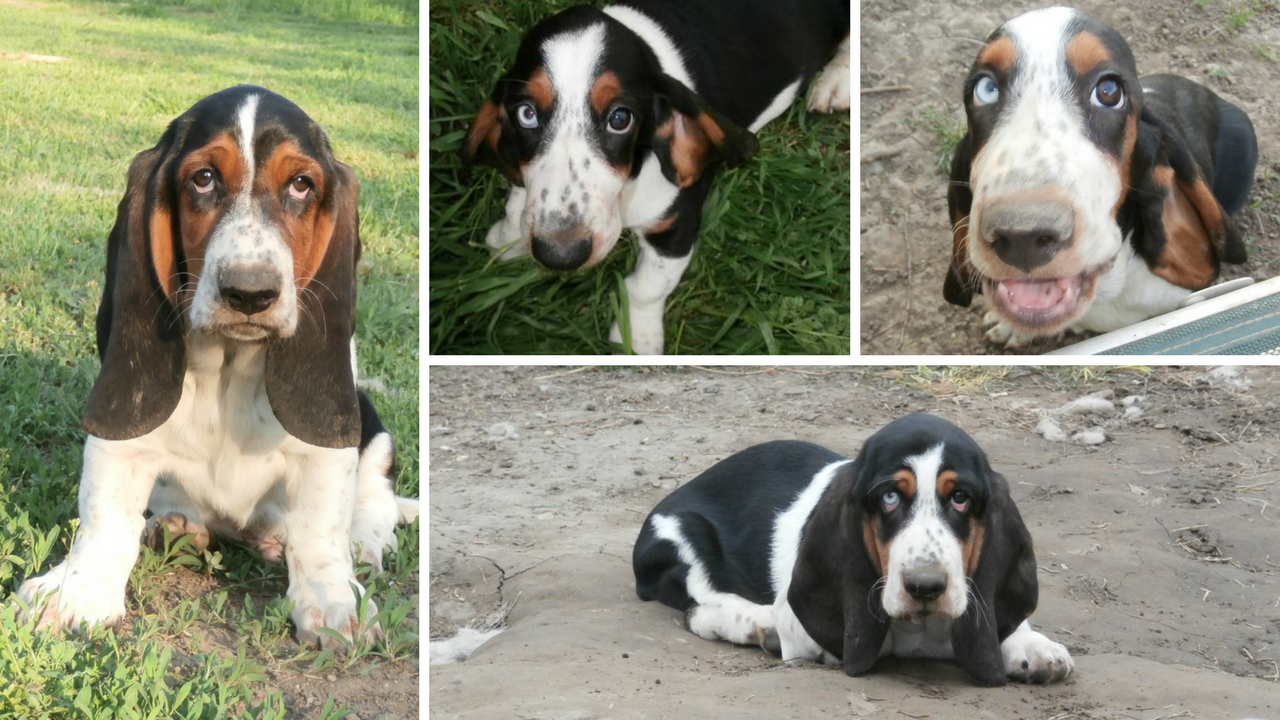 Basset hound puppies - Kuschelmonster kennel