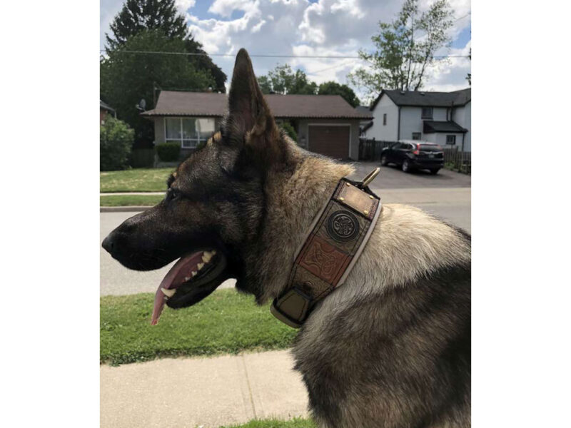 Green personalized dog collar by Workshop Sauri on German shepherd
